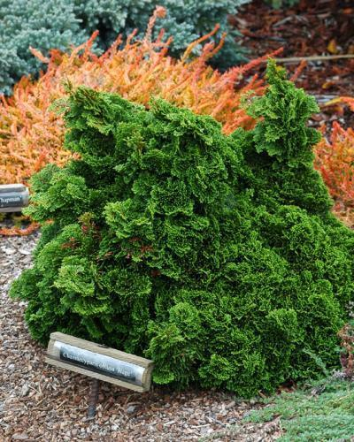 Photo of Hinoki Cypress (Chamaecyparis obtusa 'Hage') uploaded by Calif_Sue