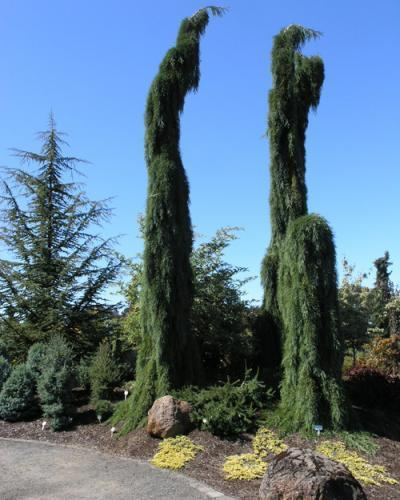 Photo of Weeping Giant Sequoia (Sequoiadendron giganteum 'Pendulum') uploaded by Calif_Sue