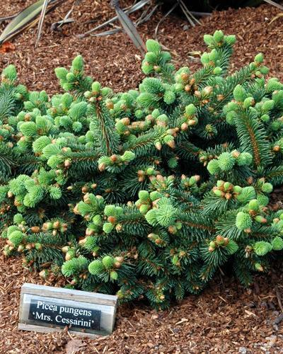 Photo of Blue Spruce (Picea pungens 'Mrs. Cesarini') uploaded by Calif_Sue