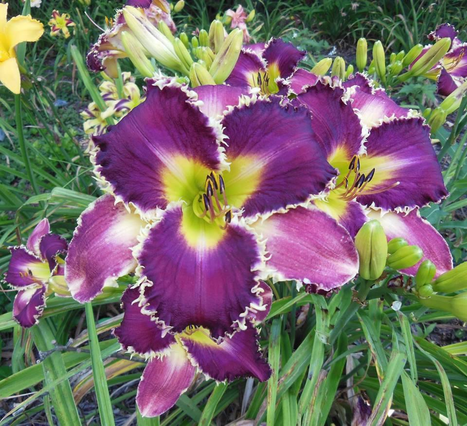 Photo of Daylily (Hemerocallis 'Venus Flytrap') uploaded by hillbilly