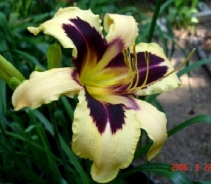 Photo of Daylily (Hemerocallis 'Wild Horses') uploaded by Sscape