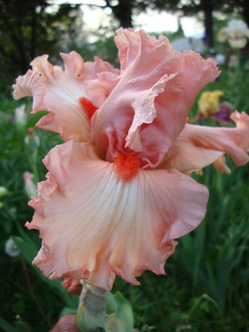 Photo of Tall Bearded Iris (Iris 'Guardian Angel') uploaded by Paul2032