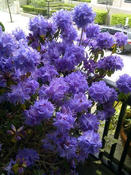 Rhododendron entire plant