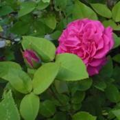 Location: Riverview, Robson, B.C.Date: 2008-06-15 5:49 pm. A thornless, user friendly rose.