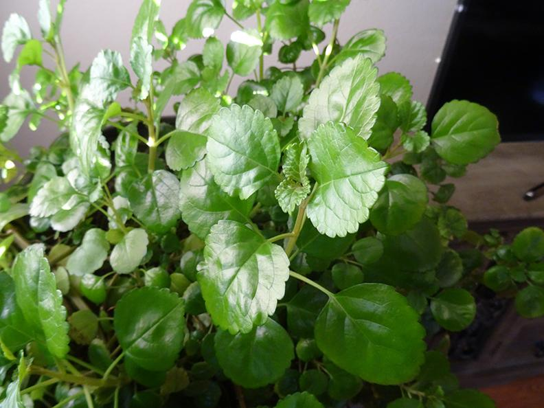 Houseplants Forum I Am Seeking The Advice From A Creeping