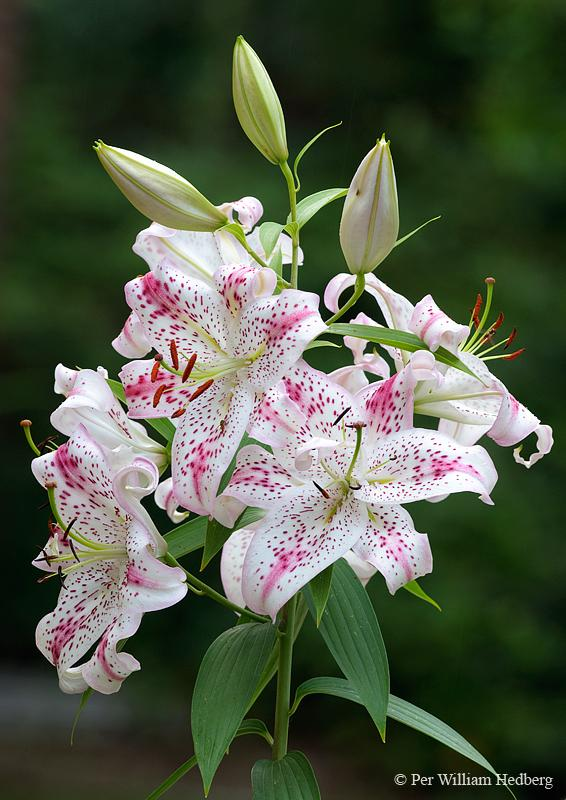lilies plant care and collection of varieties  garden, Beautiful flower