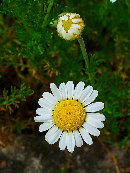 Photo of Roman Chamomile (Chamaemelum nobile) uploaded by robertduval14