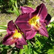 Location: Nora's Garden - Castlegar, B.C.Date: 2013-07-29 10:41 am. Richly coloured, with wonderfully rippled pe