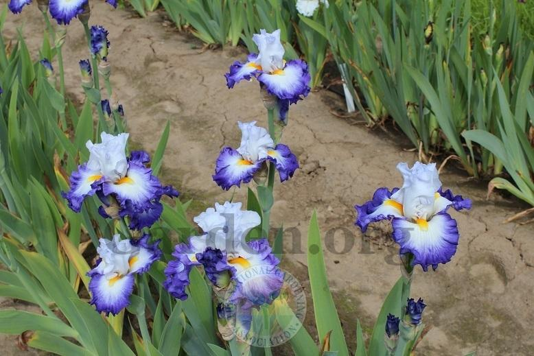 Photo of Tall Bearded Iris (Iris 'Hard To Resist') uploaded by HighdesertNiki