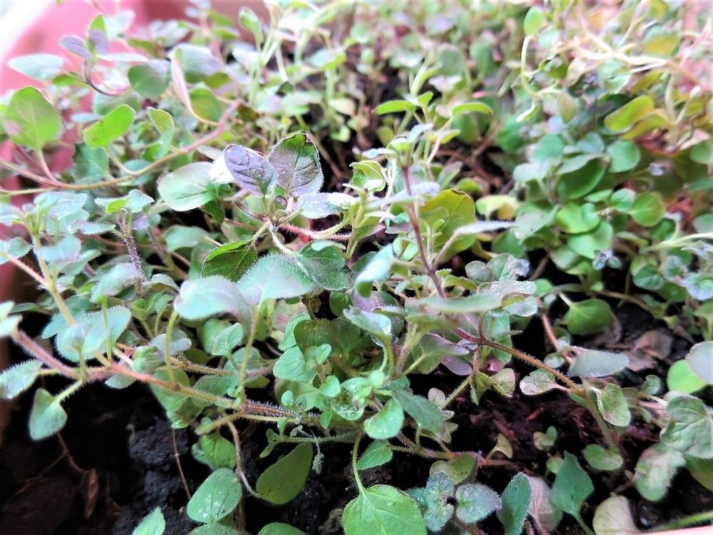 Photo of Greek Oregano (Origanum vulgare subsp. hirtum) uploaded by Ambrose