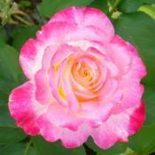 Location: Nora's Garden - Castlegar, B.C.Date: 2014-08-13 6:09 pm. The ultimate favourite Rose.