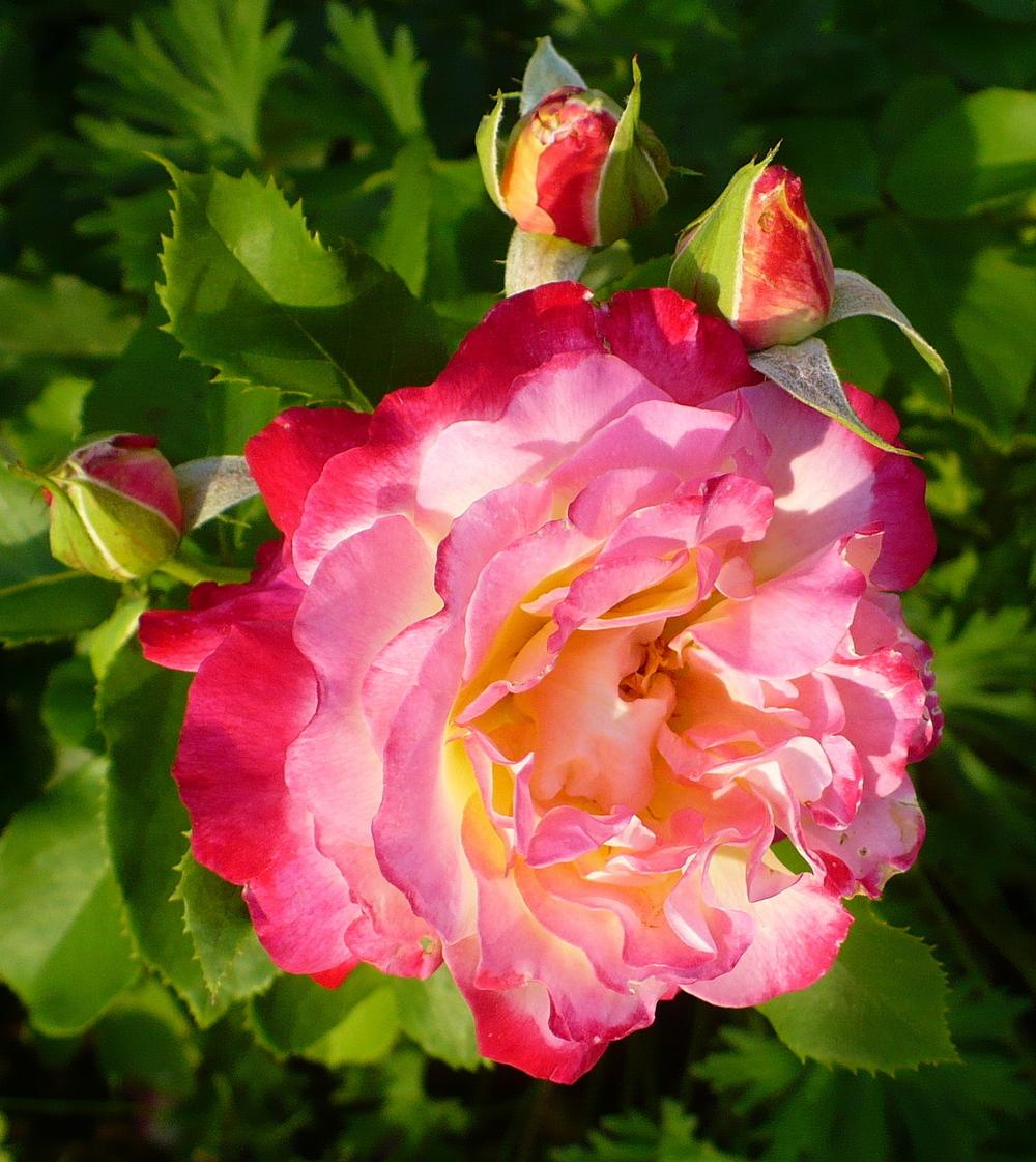 Photo of Rose (Rosa 'Double Delight') uploaded by HemNorth