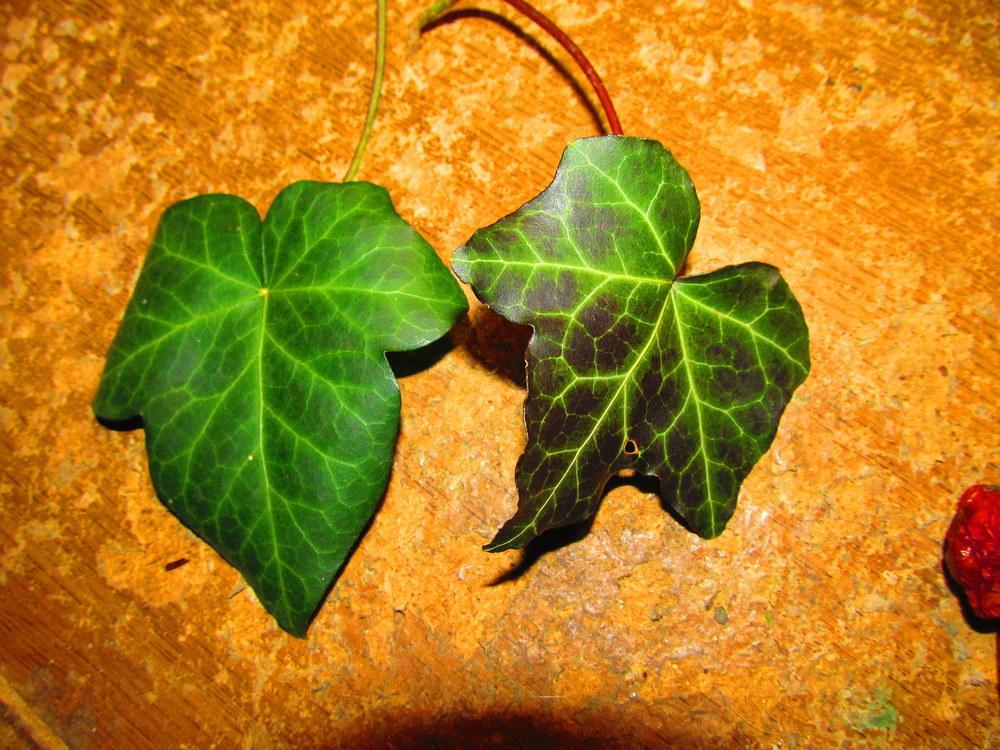 Photo of English Ivy (Hedera helix) uploaded by jmorth