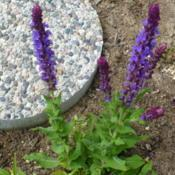 Location: Nora's Garden - Castlegar, B.C.Date: 2016-05-21 1:21 pm. Rich blue-violet blossoms and compact habit,