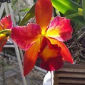 Photo of Orchid (Rhyncattleanthe Chief Sweet Orange)