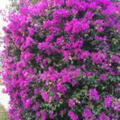 Location: Winter Springs, FL zone 9bDate: 2017-01-17Nicely trimmed full of January blooms