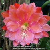 Photo of Hybrid Epiphyllum (Epiphyllum 'Whatta Dream')
