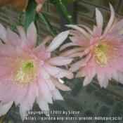 Photo of Hybrid Epiphyllum (Epiphyllum 'Tassel')