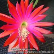 Photo of Hybrid Epiphyllum (Epiphyllum 'Viking')