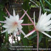 Photo of Hybrid Epiphyllum (Epiphyllum 'Wedding Bells')