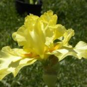 Photo of Tall Bearded Iris (Iris 'Casino Cruiser')