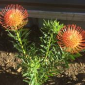 Photo of Protea Hybrid (Leucospermum So® Successful)