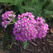 Photo of Yarrow (Achillea 'Oertel's Rose')