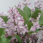 Photo of Lilacs (Syringa)