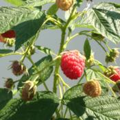Photo of Red Raspberry (Rubus idaeus 'Heritage')