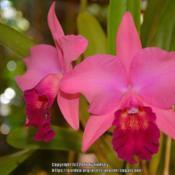 Photo of Orchid (Rhyncholaeliocattleya Inspiration 'Coral')