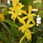 Photo of Orchid (Cymbidium Golden Elf)