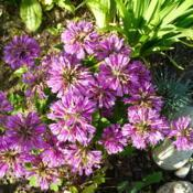 Location: Nora's Garden - Castlegar, B.C.Date: 2012-07-27 5:12 pm. A compact cushion of blossoms.