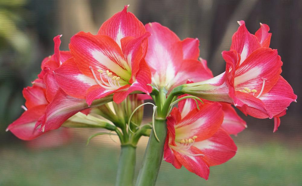 Photo Of The Bloom Of Amaryllis Hippeastrum Tres Belles Posted By Bsharf Garden Org