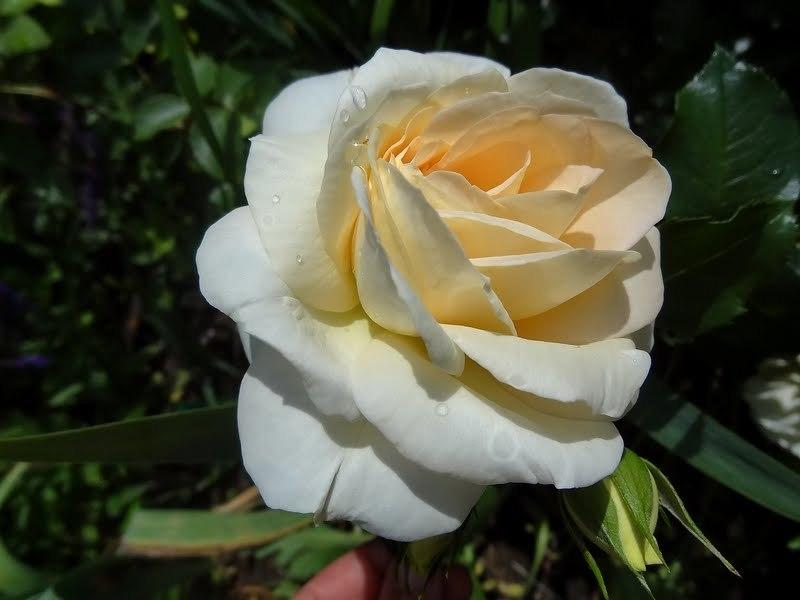 Photo of Rose (Rosa 'Marie Antoinette') uploaded by Orsola