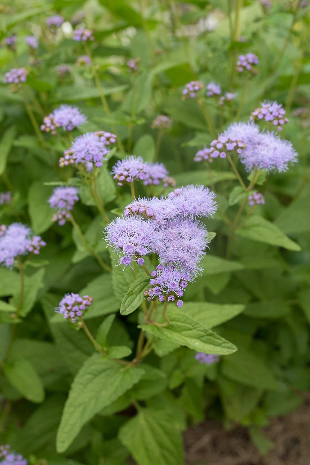 Photo of the bloom of blue mistflower conoclinium coelestinum photo of blue mistflower conoclinium coelestinum uploaded by califsue izmirmasajfo