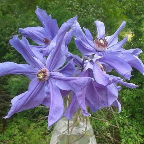 Photo of Clematis 'Sizaia Ptitsa' uploaded by Calif_Sue