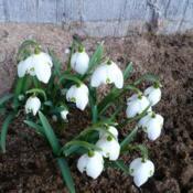 Location: Nora's Garden - Castlegar, B.C. Date: 2013-03-08 5:06 pm. This clump of snowdrops started to bloom at the end of