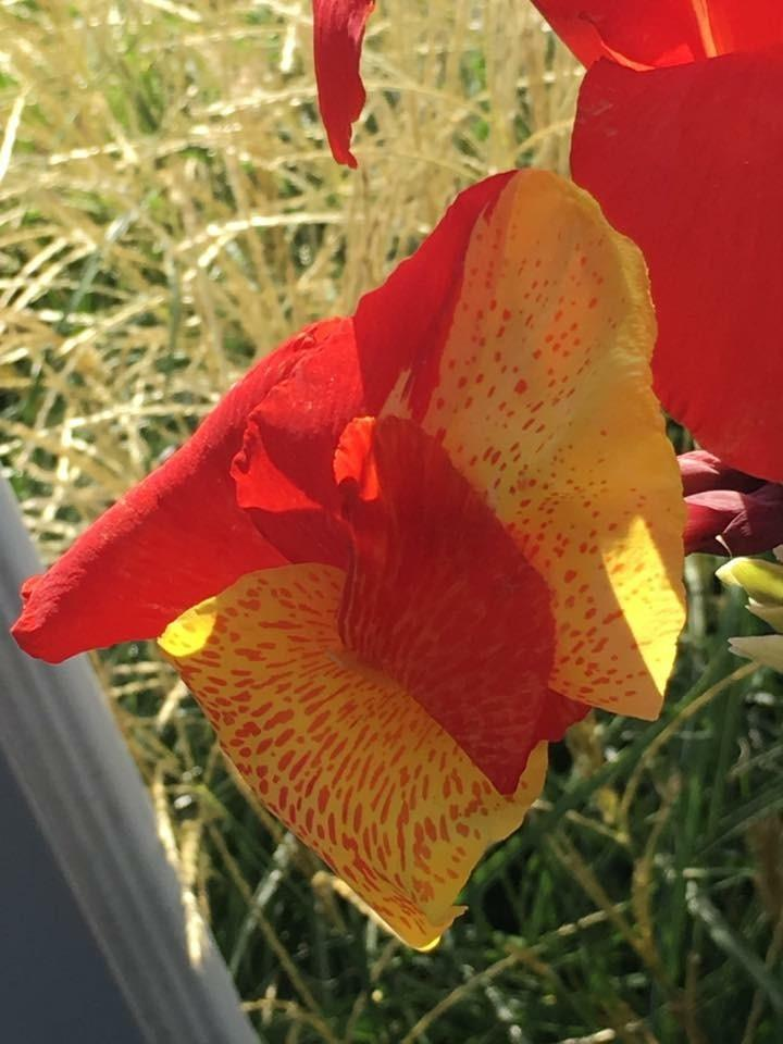 Photo of Canna Lily (Canna 'Yellow King Humbert') uploaded by rbloomfi