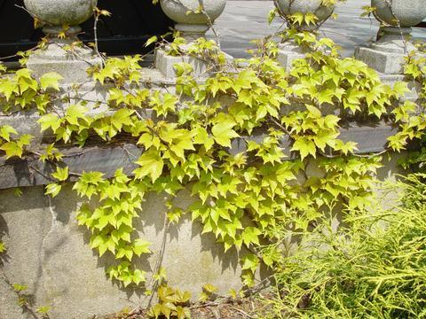 Photo of Boston Ivy (Parthenocissus tricuspidata 'Fenway Park') uploaded by Calif_Sue
