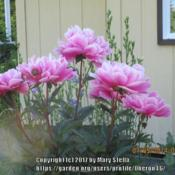 Location: My Garden, Anchorage, AlaskaDate: 2014-07-05'Bev' has strong stems on a vase shaped plant, topped w