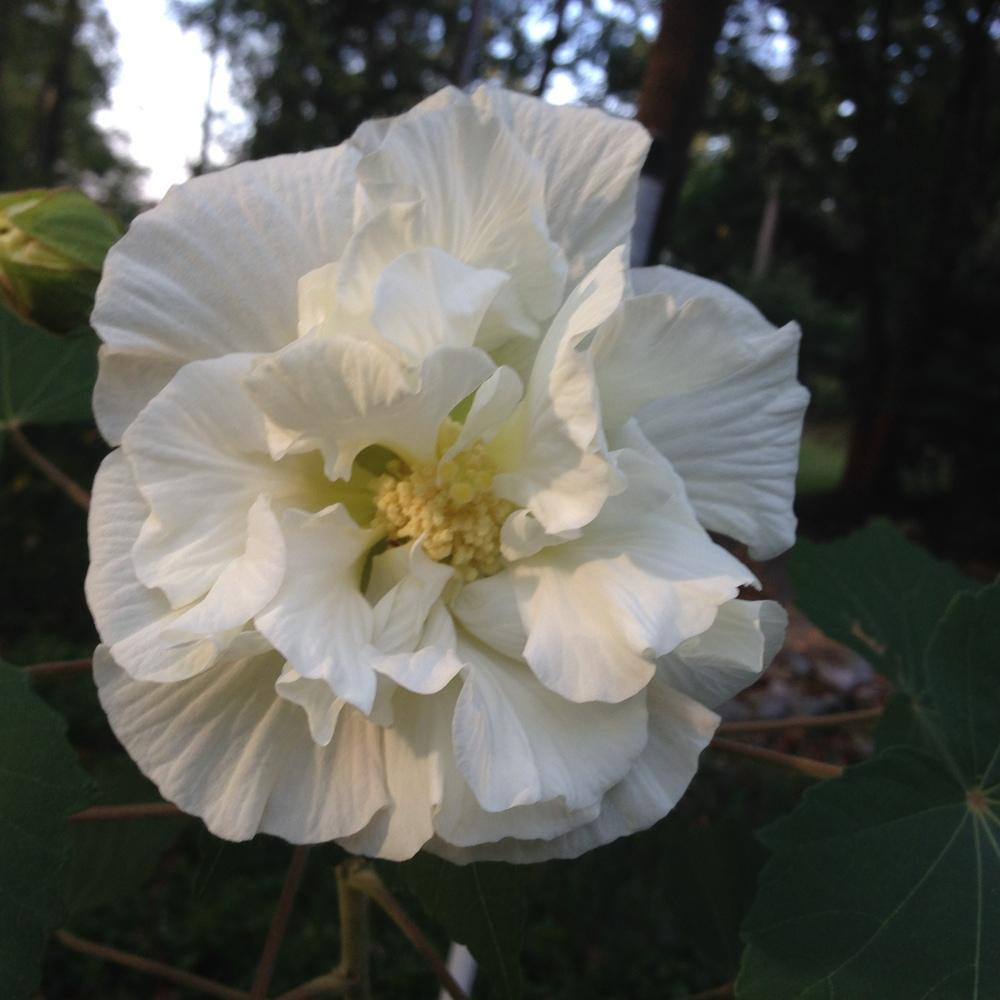 Photo of Confederate Rose (Hibiscus mutabilis) uploaded by Lalambchop1