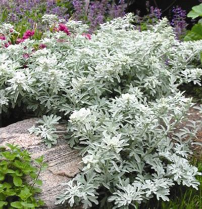 Photo of Dusty Miller (Artemisia stelleriana 'Silver Brocade') uploaded by Lalambchop1
