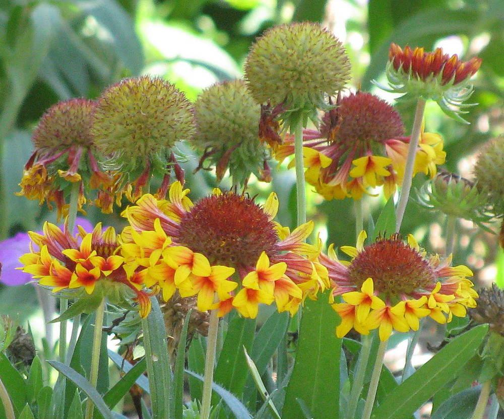 Blanket Flower seed pods or heads