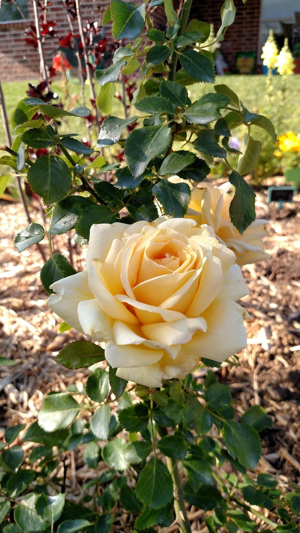 Photo of the bloom of Rose (Rosa 'Winter Sun') posted by Sarafoot - Garden.org