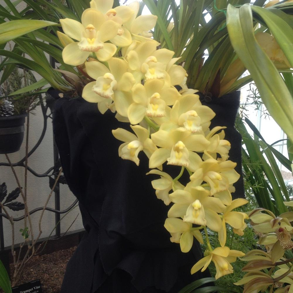 Photo of Orchid (Cymbidium Honey Bunny 'Sweet Bell') uploaded by csandt