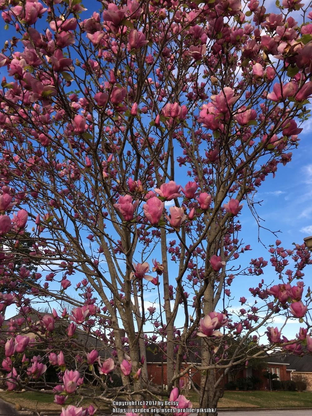 Photo of Saucer Magnolia (Magnolia x soulangeana) uploaded by piksihk