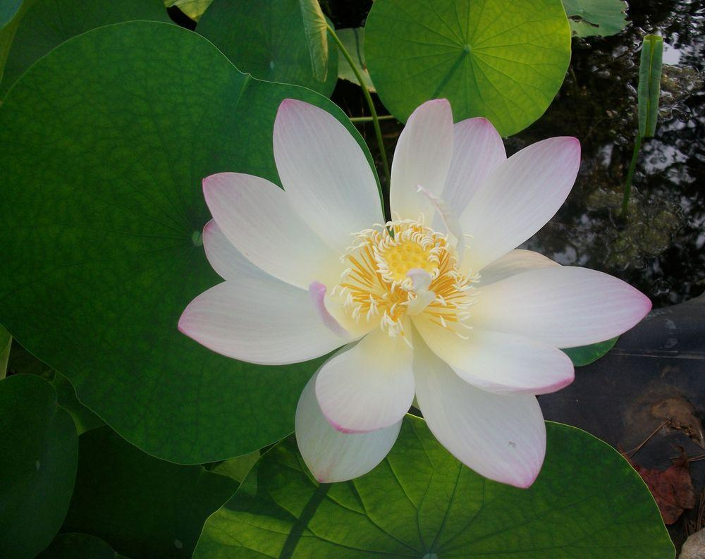 Classifieds and group buys forum lotus tubers for sale or trade classifieds and group buys forum lotus tubers for sale or trade izmirmasajfo