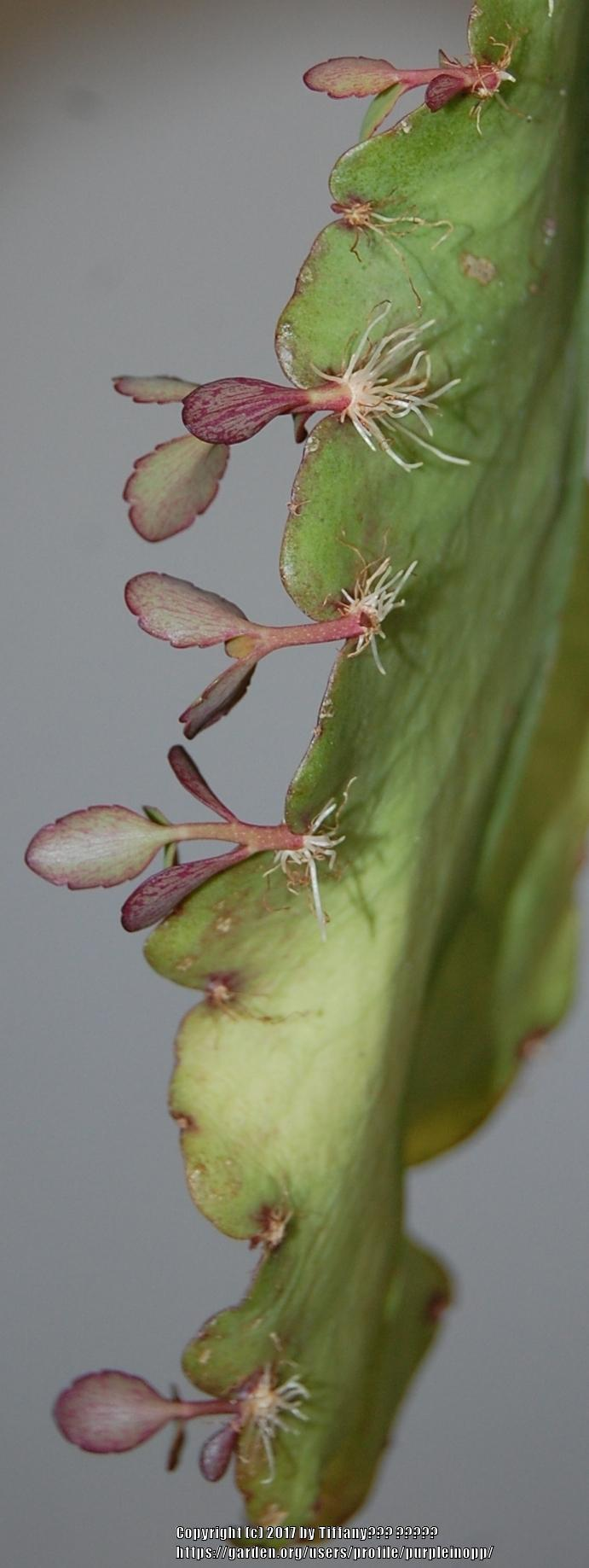 Photo of Cathedral Bells (Kalanchoe pinnata) uploaded by purpleinopp