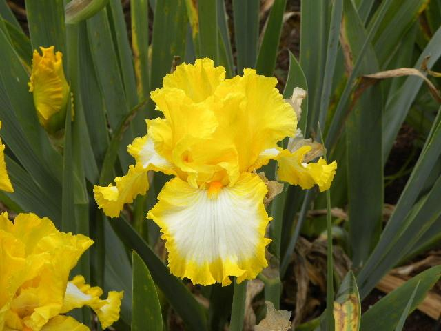 Photo of Tall Bearded Iris (Iris 'Kaw') uploaded by SassyCat