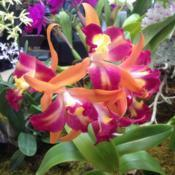 Location: Susquehanna Orchid Society Show at Milton & Catherine Hershey Conservatory at Hershey Gardens, Hershey, PennsylvaniaDate: 2017-02-05